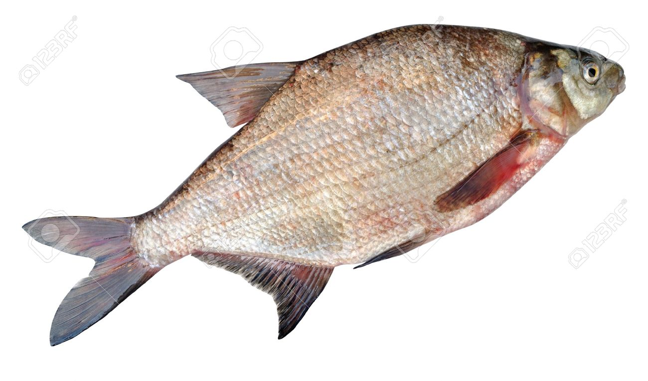 Freshwater fish bream - Stock Photo The Common Bream Freshwater Bream Bream Bronze Bream Or Carp Bream Abramis Brama Is A European Species Of Freshwater Fish In The Family