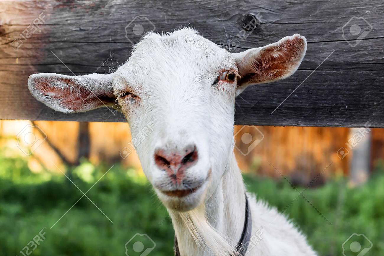 Stock Photo - White goat looking at the camera,funny goat,the gaze of the goat