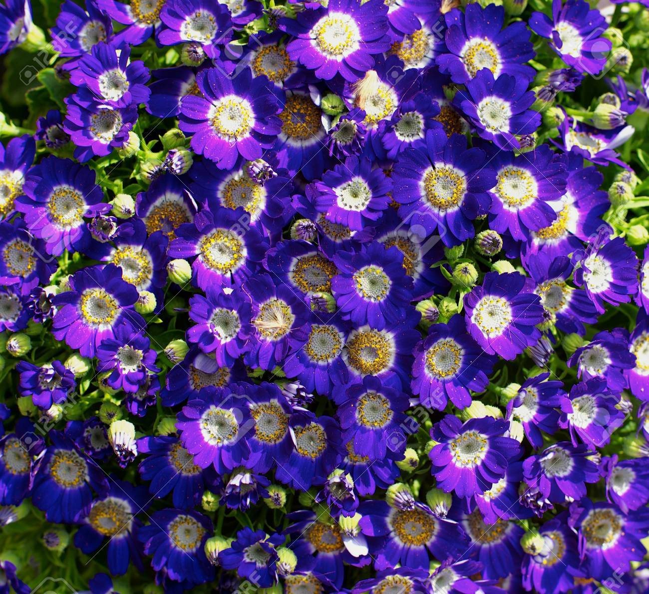 Background Of Purple Daisy Flower Heads With Yellow Pollen Closeup