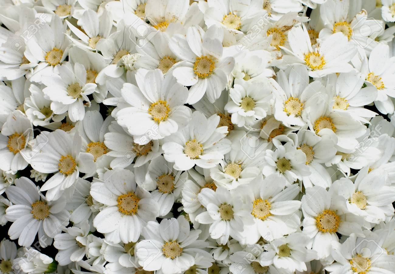 Background Of White Daisy Flower Heads With Yellow Pollen Closeup