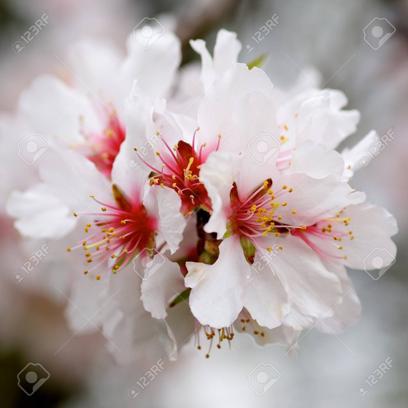 beauty white and red cherry blossoms on blurred cherry tree branches