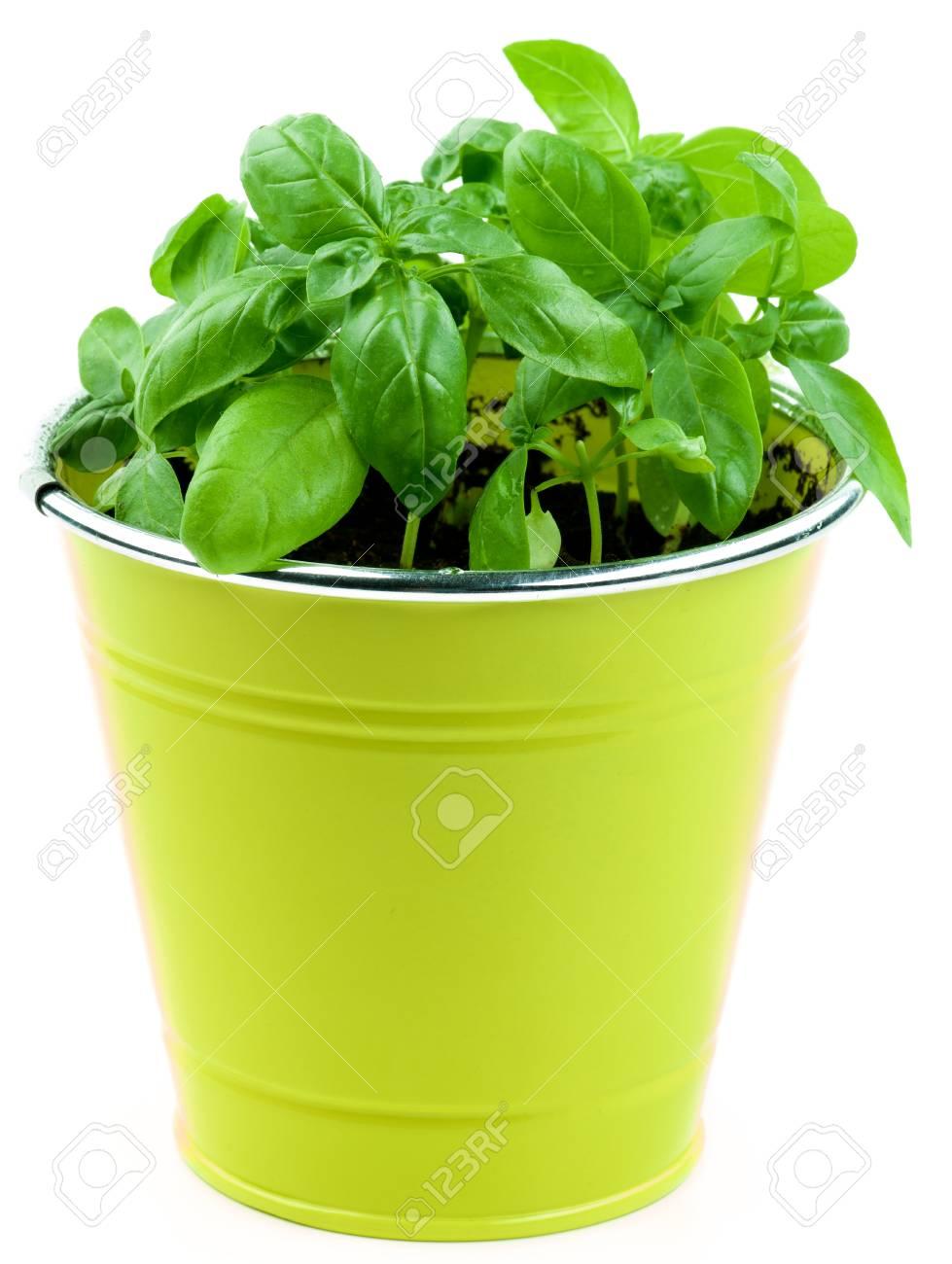 Fresh Green Lush Foliage Basil In Yellow Flower Pot Isolated Stock