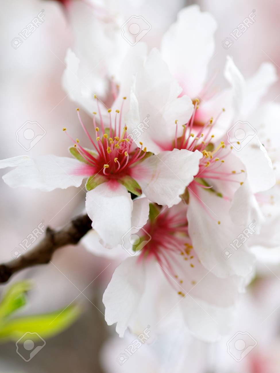 beauty white and red cherry blossoms on blurred cherry flowers