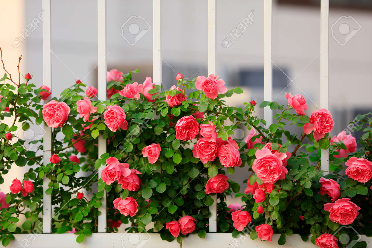 summer, The roses are in full bloom close-up - 154151603