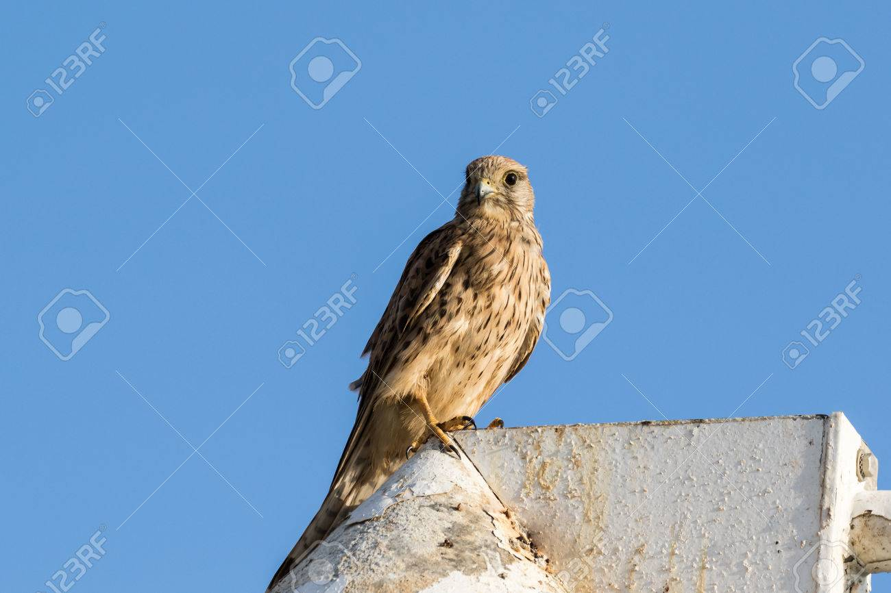 A Kestrel Falcon In Late Afternoon Light Stock Photo