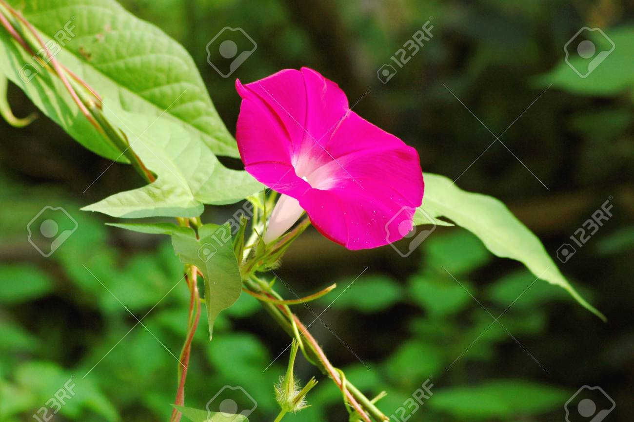 Morning glory Stock Photo - 13785462