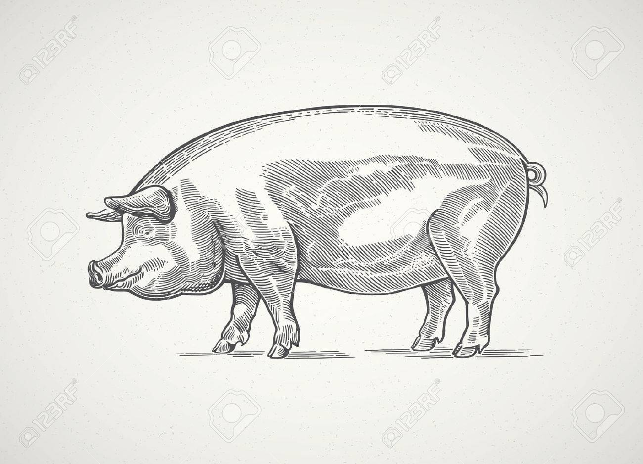 Pig in graphic style, hand drawn illustration. - 62337422