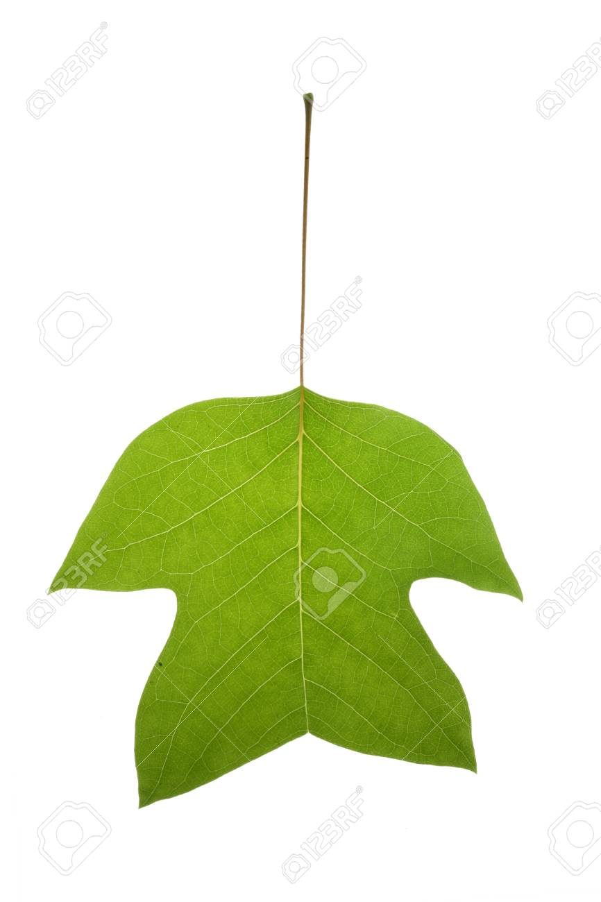 Tree leaf and white background Stock Photo - 13310998