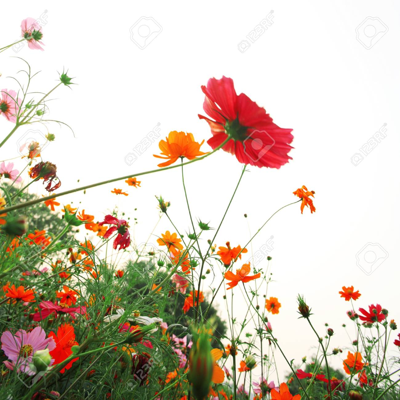 colorful daisies in grass field with white background Stock Photo - 13441103