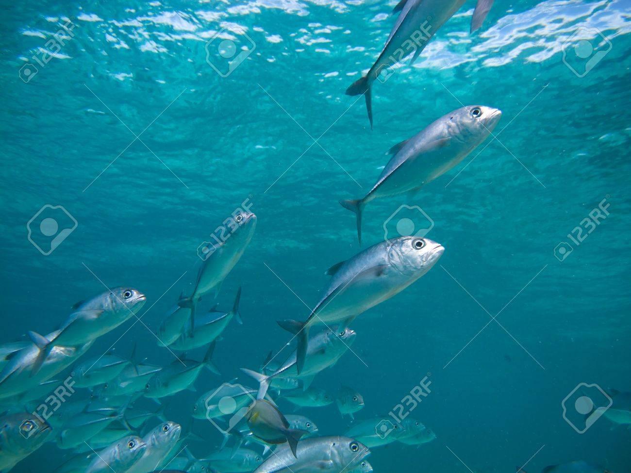 huge school of jackfish - 14331676