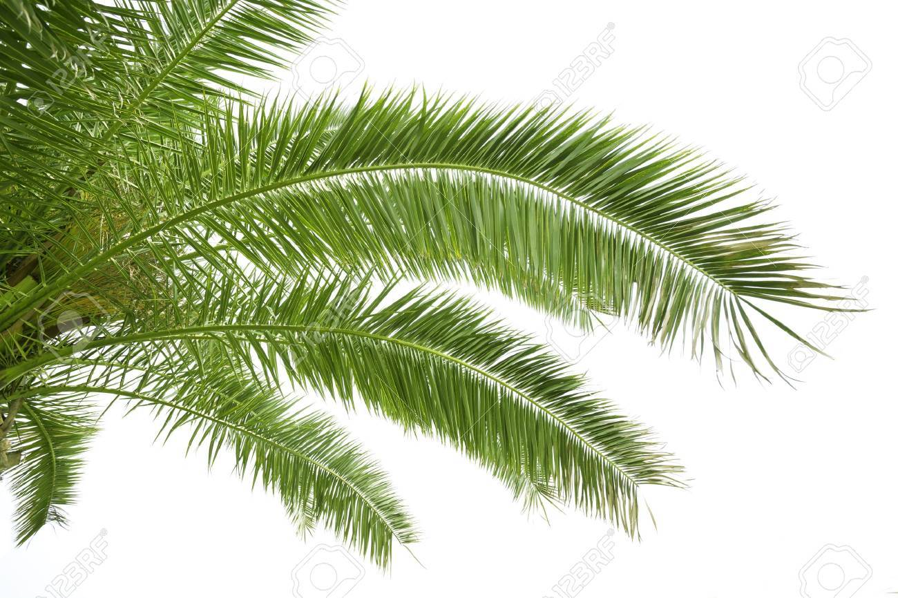 Palm leaves isolated on white - 42266592