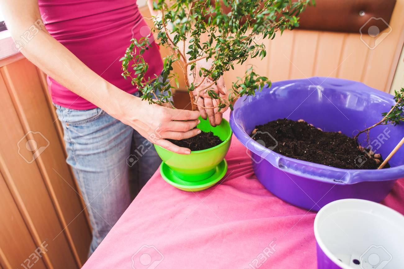 A Woman Plants A Houseplant In A Pot  Young Bonsai Tree