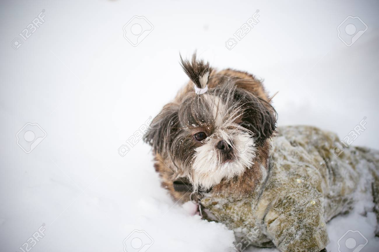 A Little Shih Tzu Dressed In Overalls Lying In The Snow Care