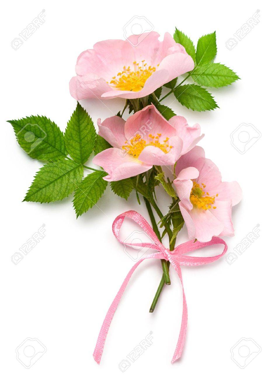 Dog Rose (Rosa Canina) Flowers With Pink Ribbon On A White ...