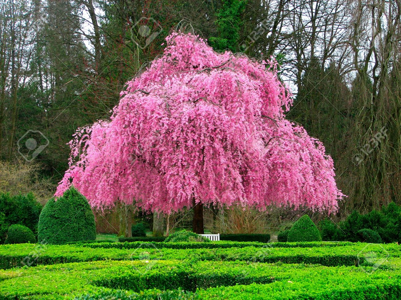 Arbre de Martine 3/04 trouvé par Ajonc 6045703-Belle-fleur-rose-arbre-Banque-d%27images
