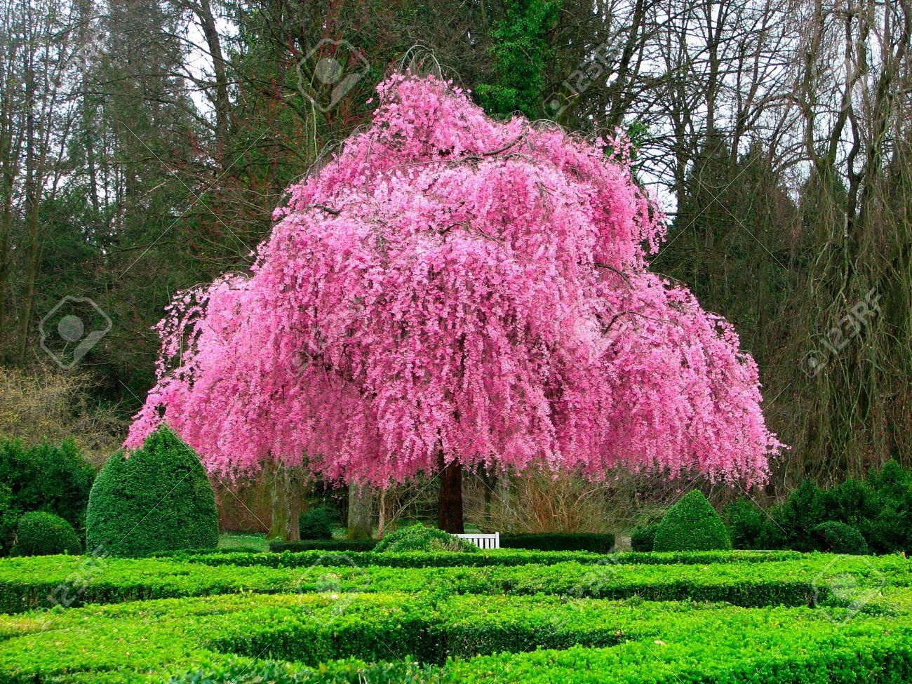 belle fleur rose arbre banque d'images et photos libres de droits