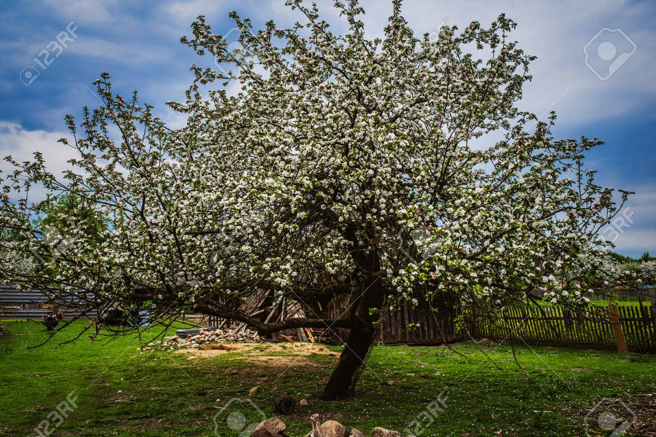 Flowering Plum In The Garden Area In The Village. Stock Photo ...
