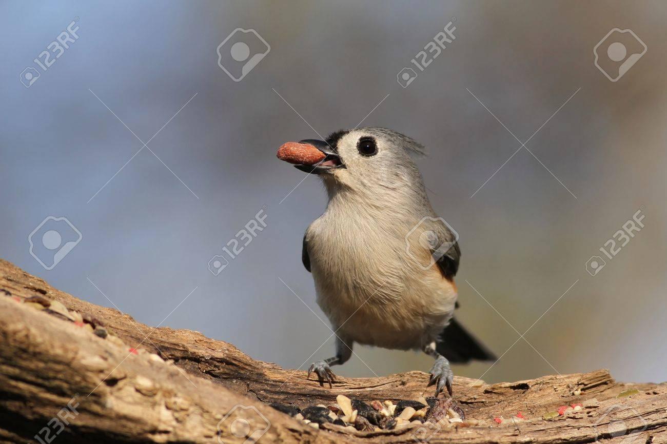 Tufted Titmouse enjoying a fruit snack. Stock Photo - 11267367
