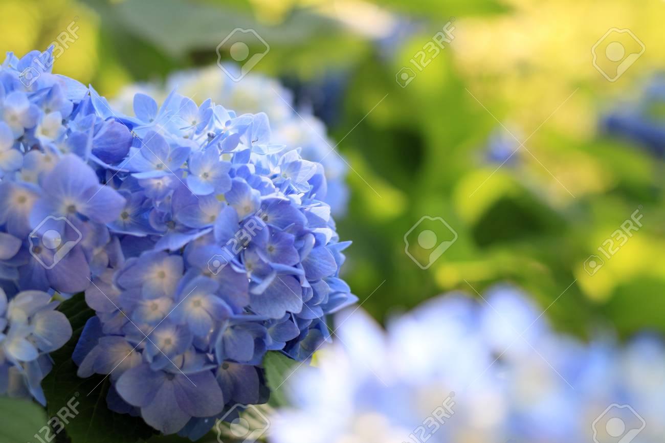 hydrangea in Kamakura, Kanagawa, Japan (one blue flower) - 103122286