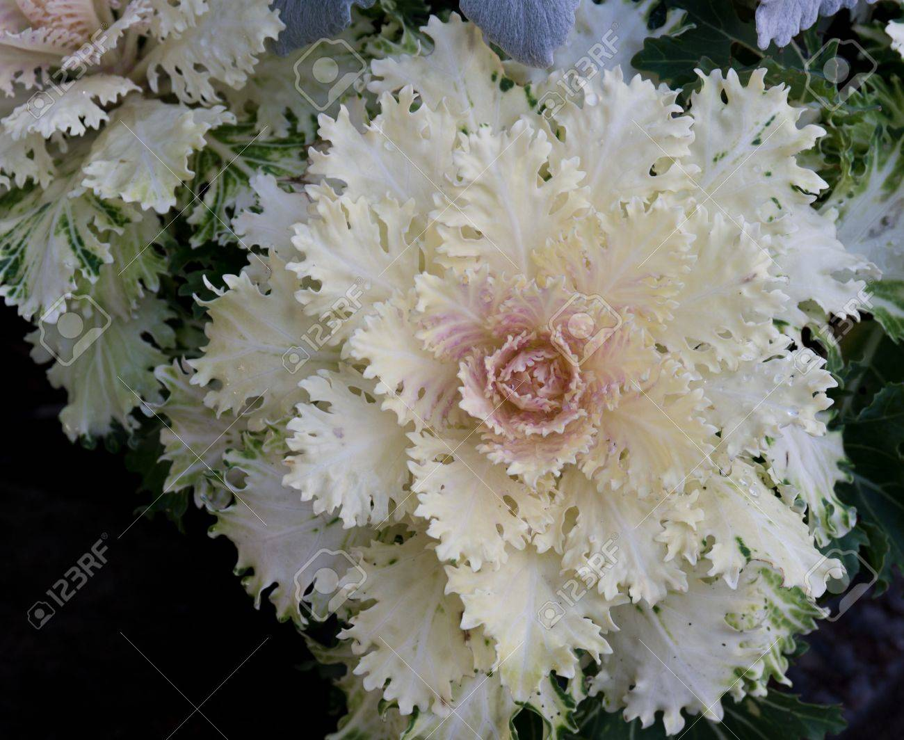 A White Ornamental Flowering Kale Plant Stock Photo Picture And