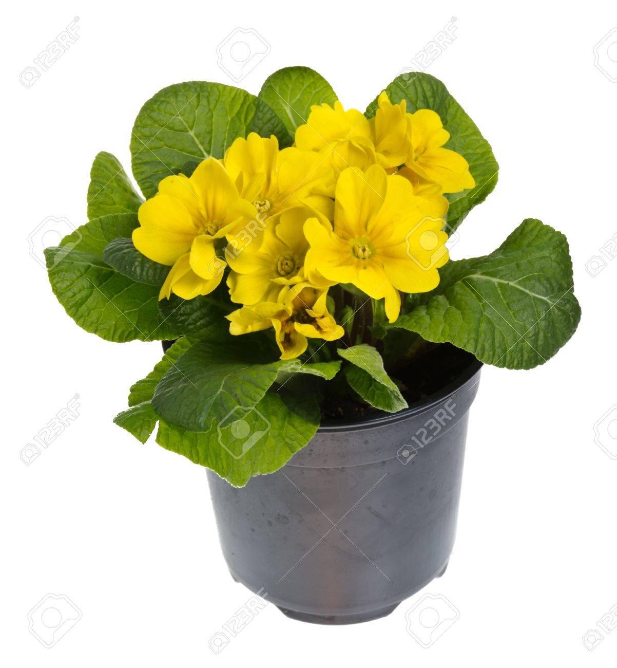Bluhende Topfpflanzen Gelbe Primel Isoliert Auf Weiss Lizenzfreie