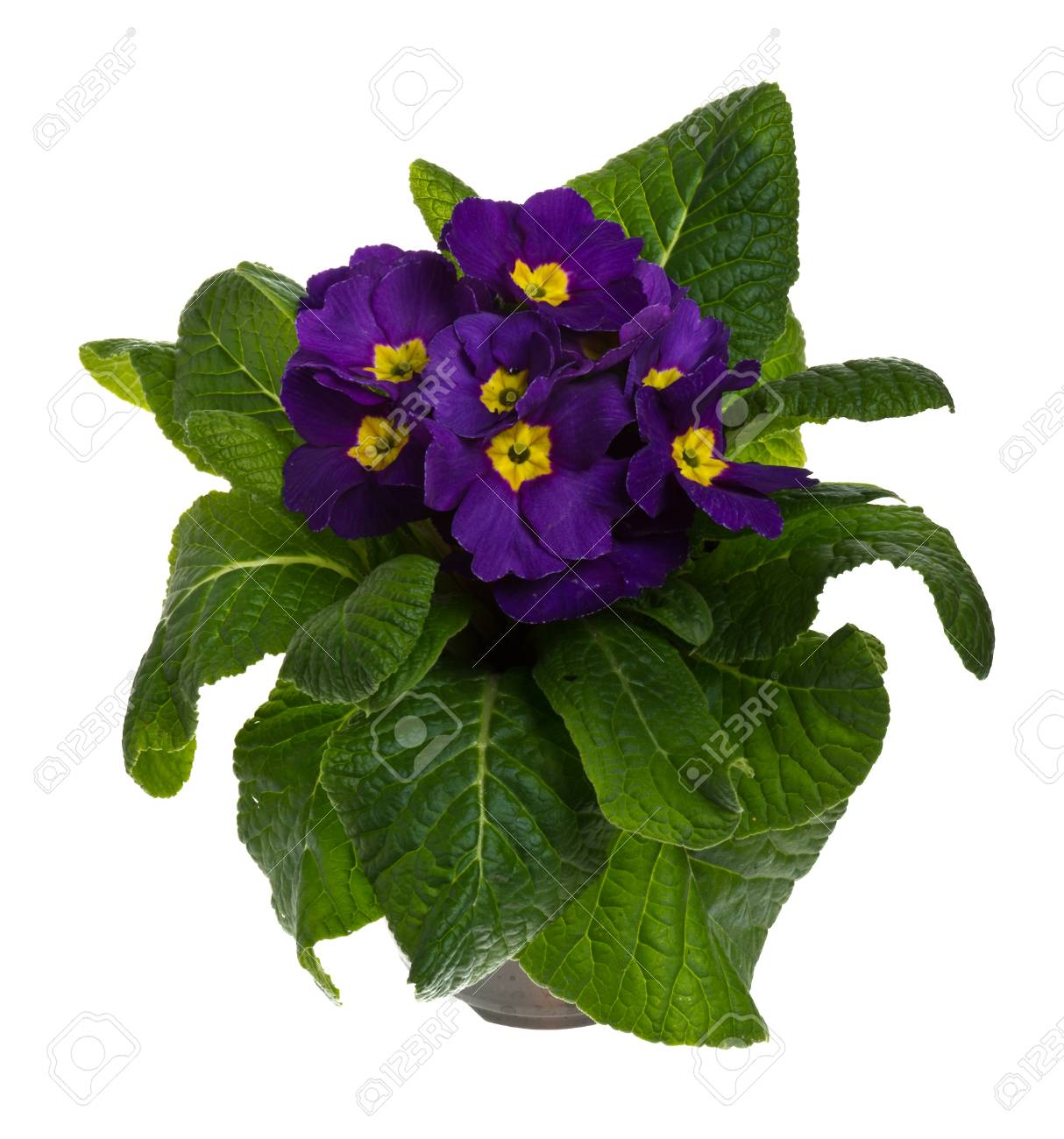 Bluhende Topfpflanzen Lila Primeln Isoliert Auf Weiss Lizenzfreie