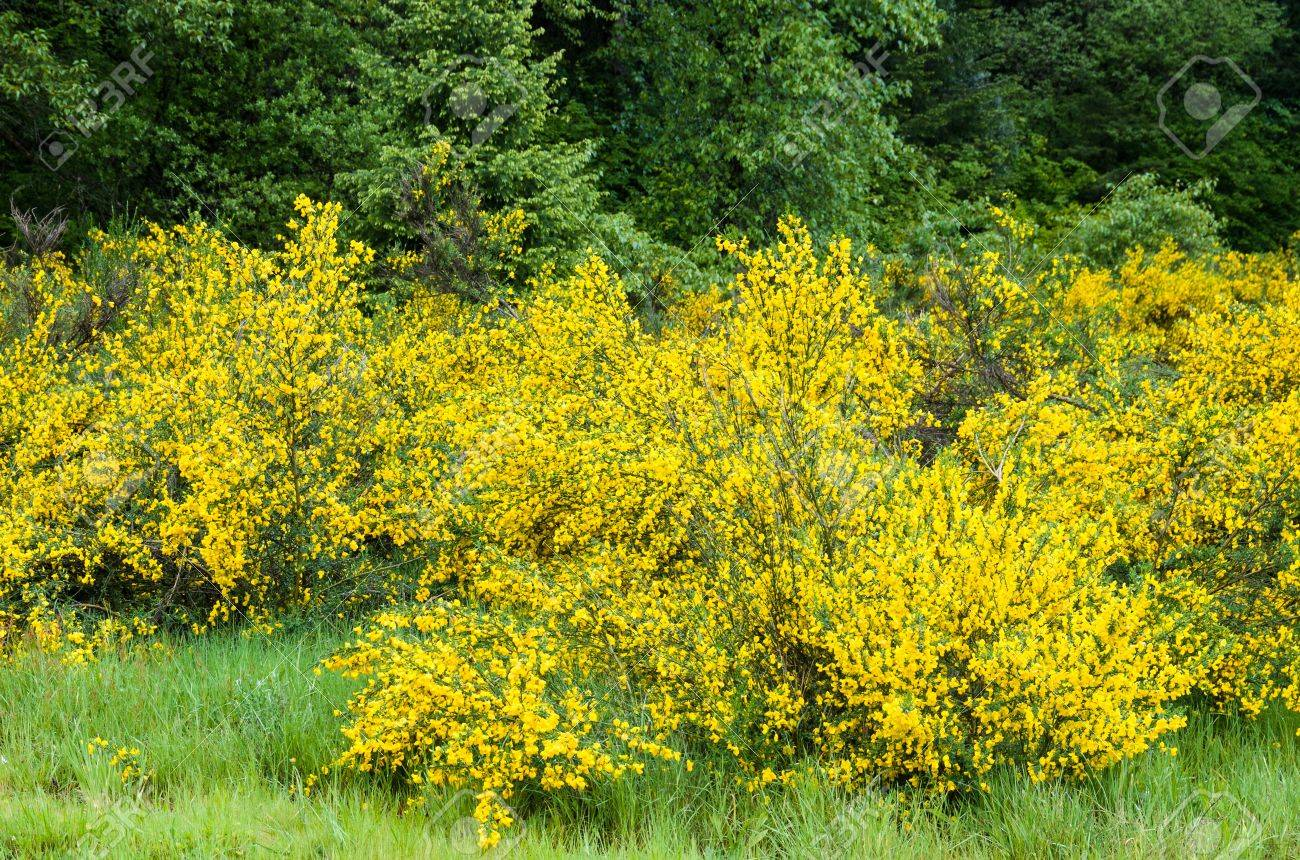 Cytisus Scorparius Or Scotch Broom An Invasive Species Stock Photo