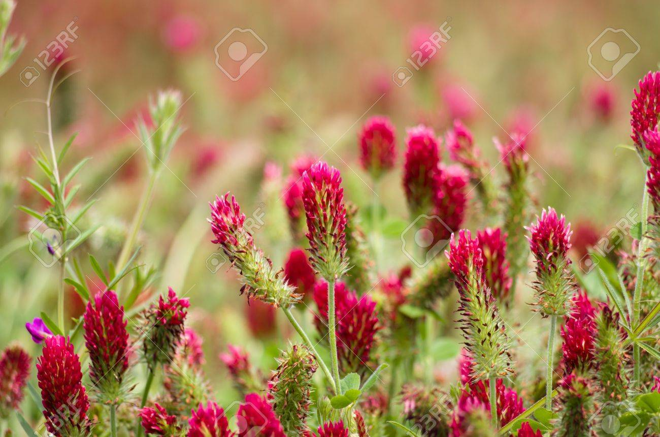 A field of red clover plants in bloom Stock Photo - 16770577