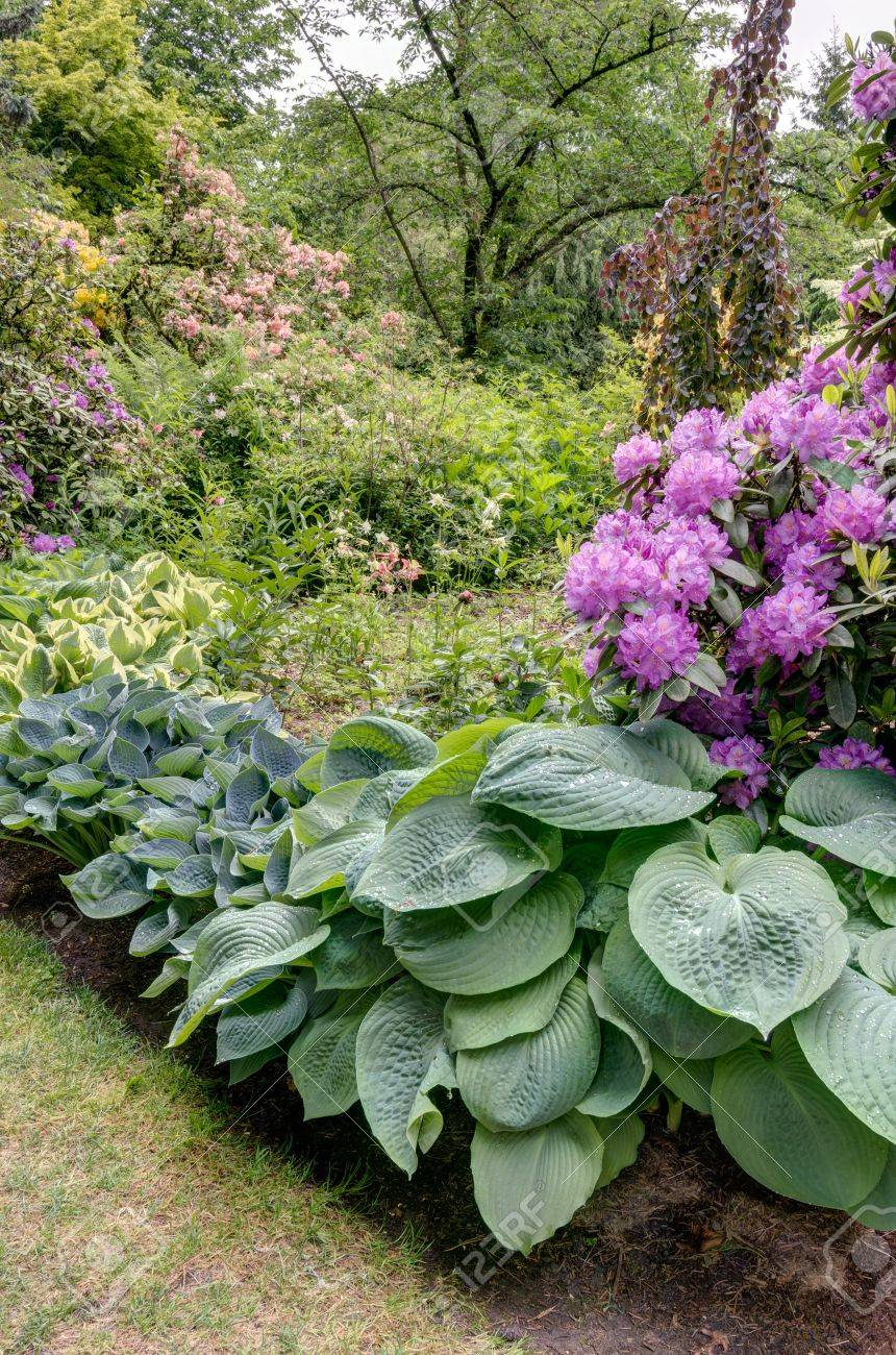 Blooming Rhododendrons With Hosta Plants In The Garden Stock Photo
