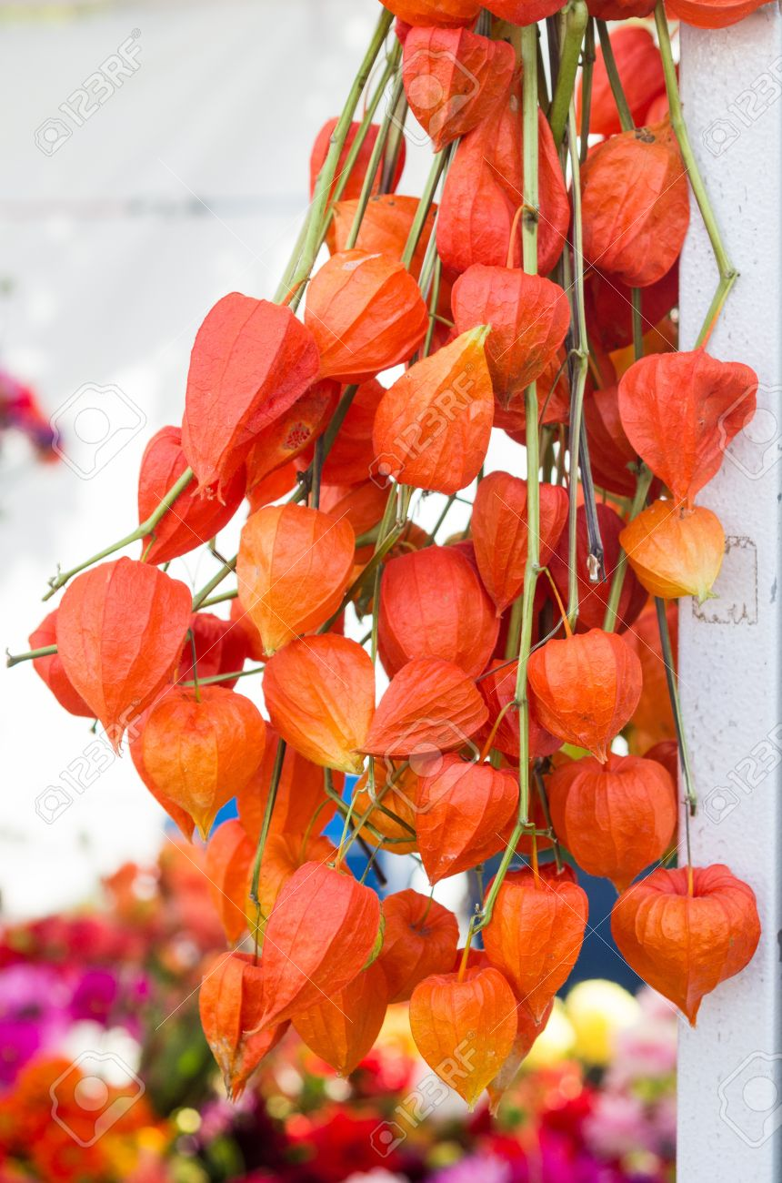 dried orange chinese lantern flowers on display stock photo, Beautiful flower