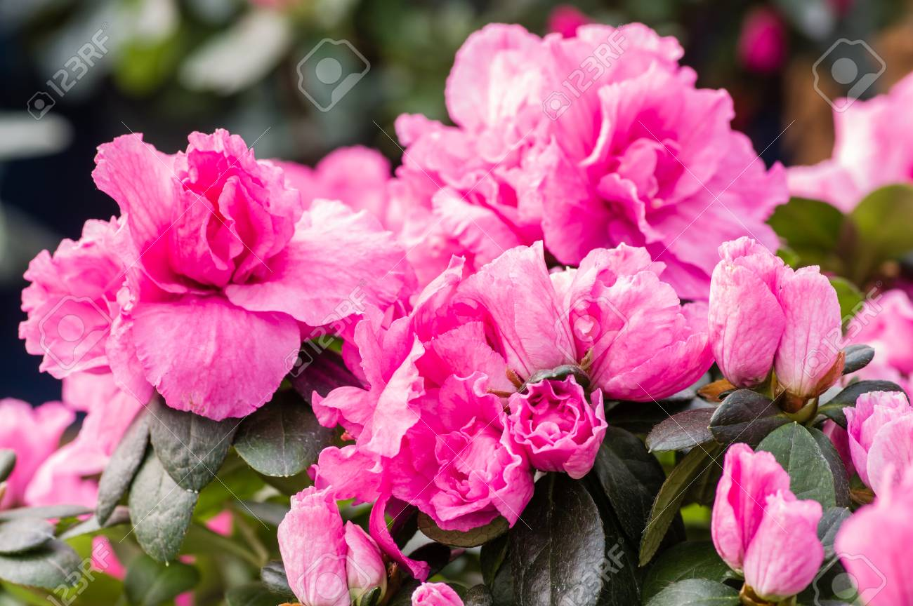 Azalea Bush With Pink Flowers In Bloom Stock Photo Picture And