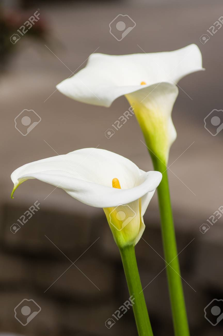 White blooming calla lily flowers in the garden stock photo picture stock photo white blooming calla lily flowers in the garden izmirmasajfo