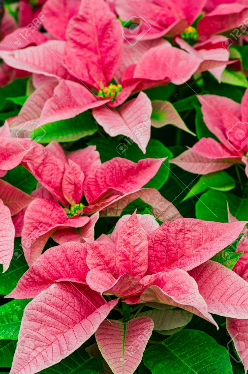 Traditional Flowering Poinsettia Plants In Bloom For The Christmas