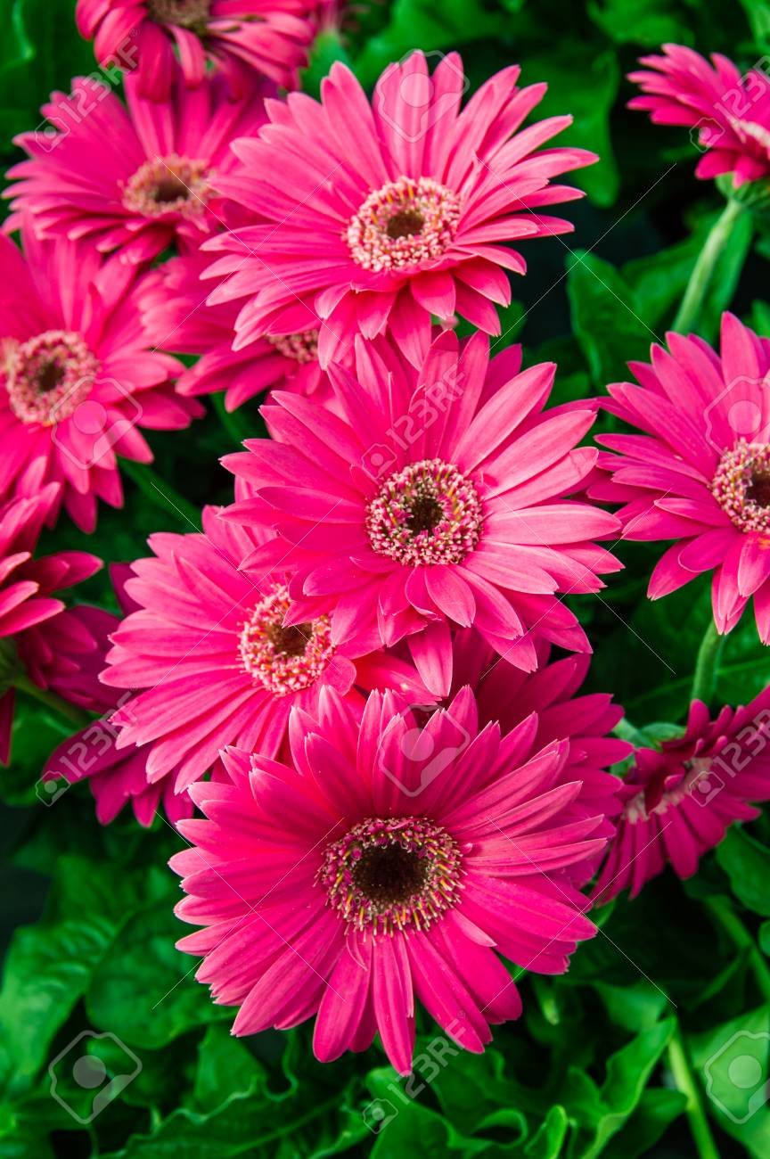 Gerbera Daisy Plant With Pink Flowers In Bloom Stock Photo Picture