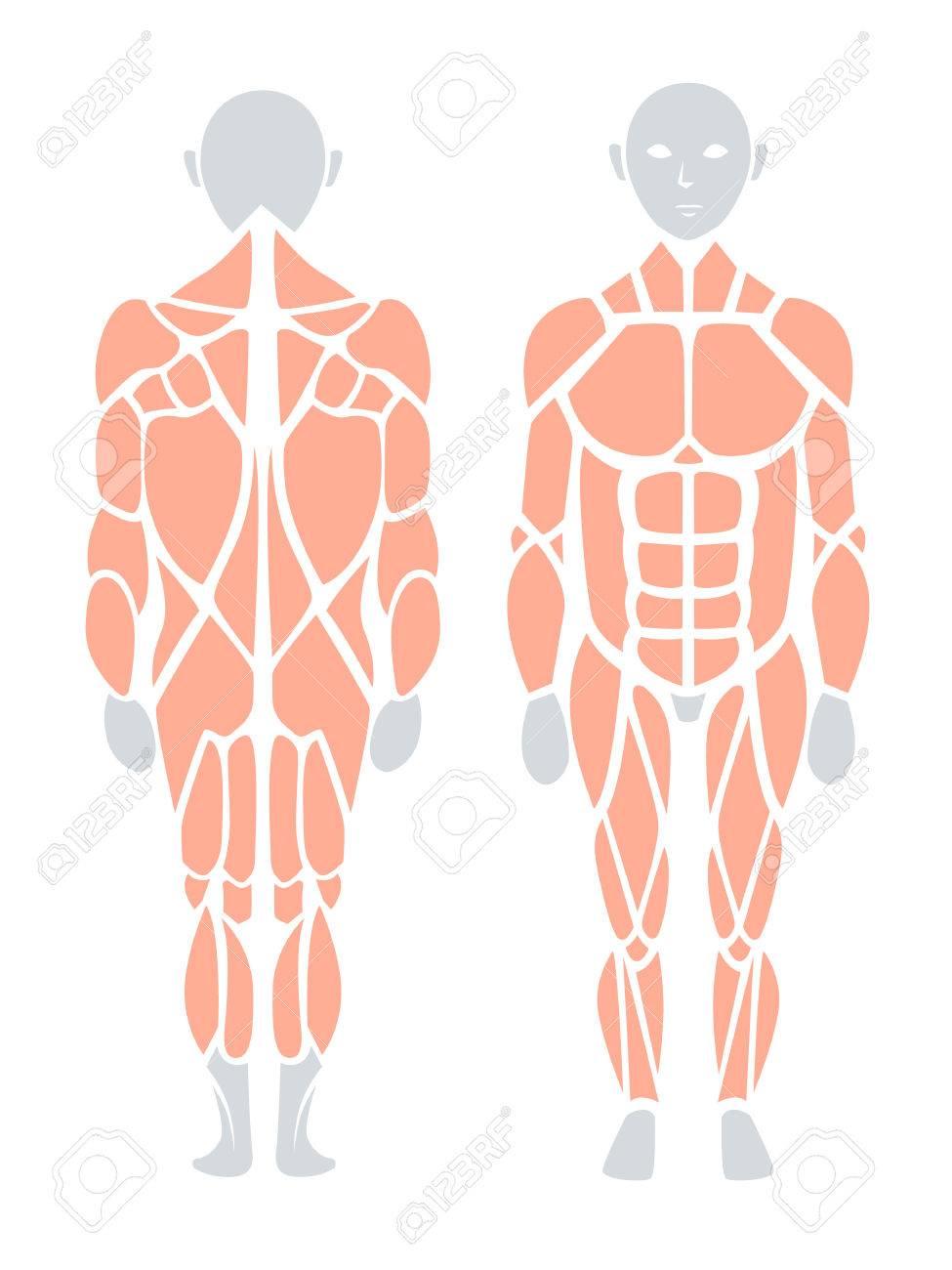 Anatomie Des Menschlichen Muskels In Rücken Und Vorderseite, Vektor ...