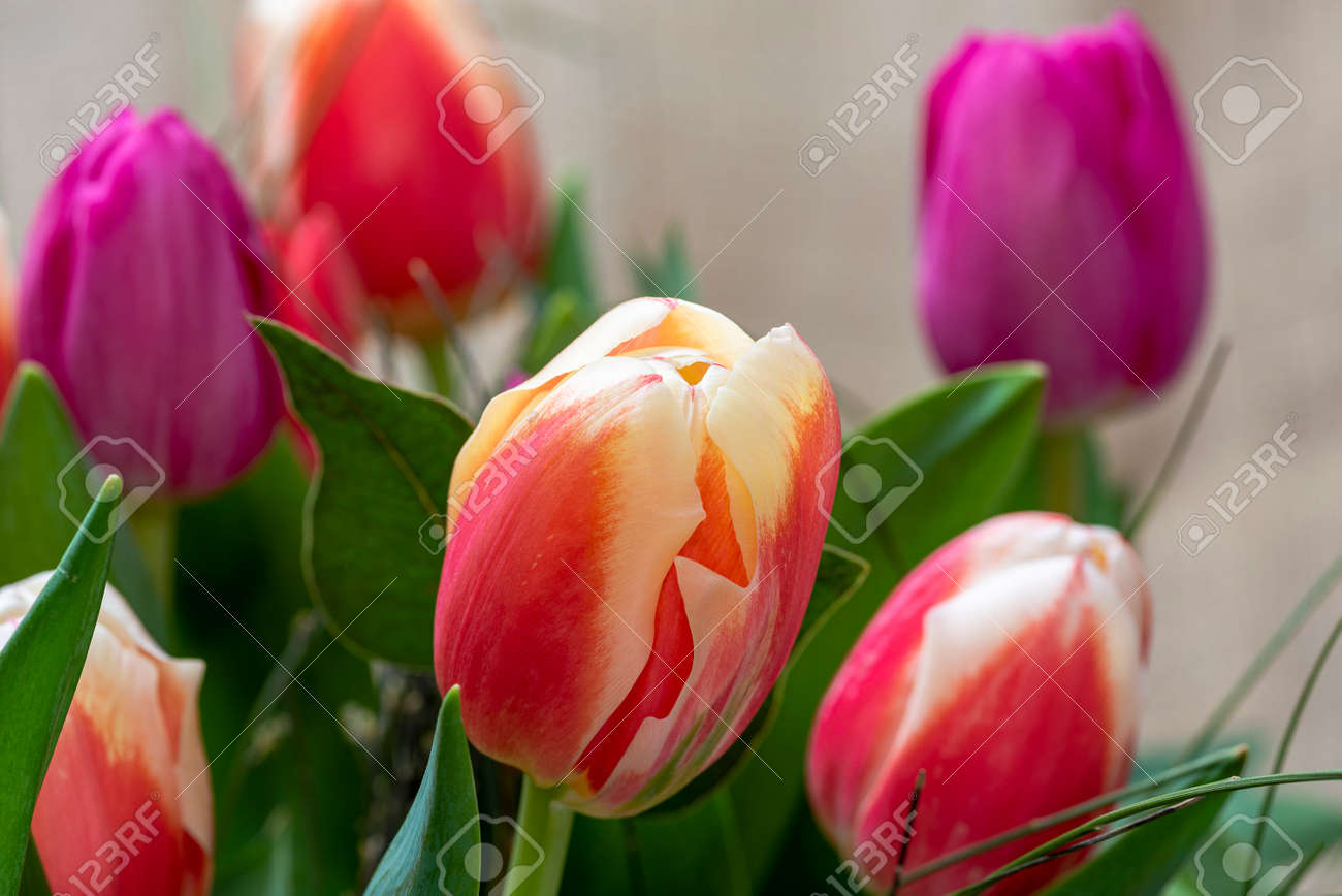 red tulip in the field, tulips red white - 159168048