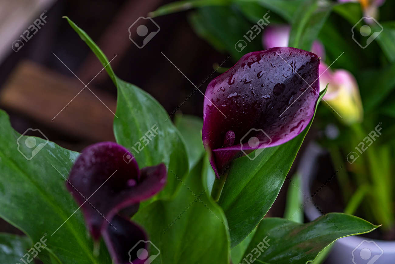 Pink calla lily flowers and green leaves. floral background, Dark lilac calla lilies. - 159426675