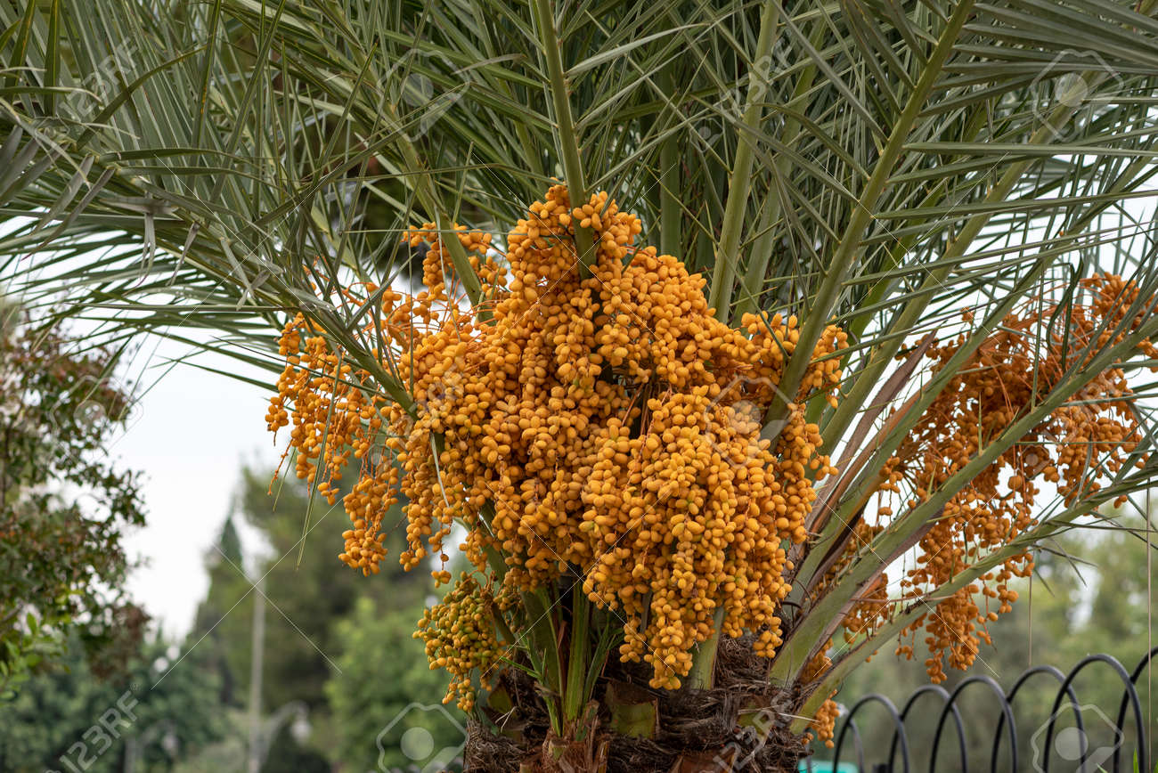 ripen Yellow and brown rutab dates, Yellow dates on the Palm. - 159417625