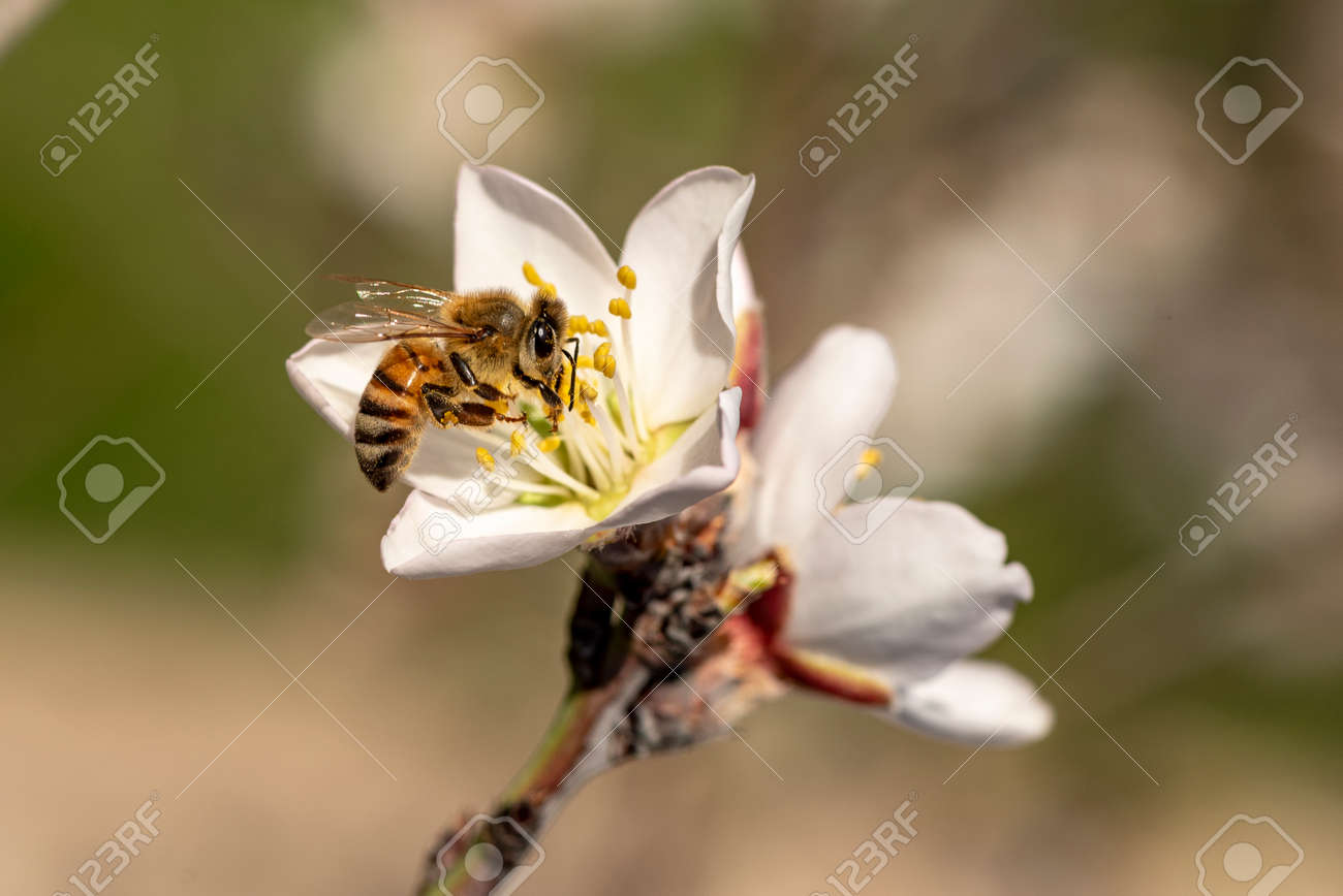 honeybee in almond blossoms. Bee On Almond Blossom - 163233897