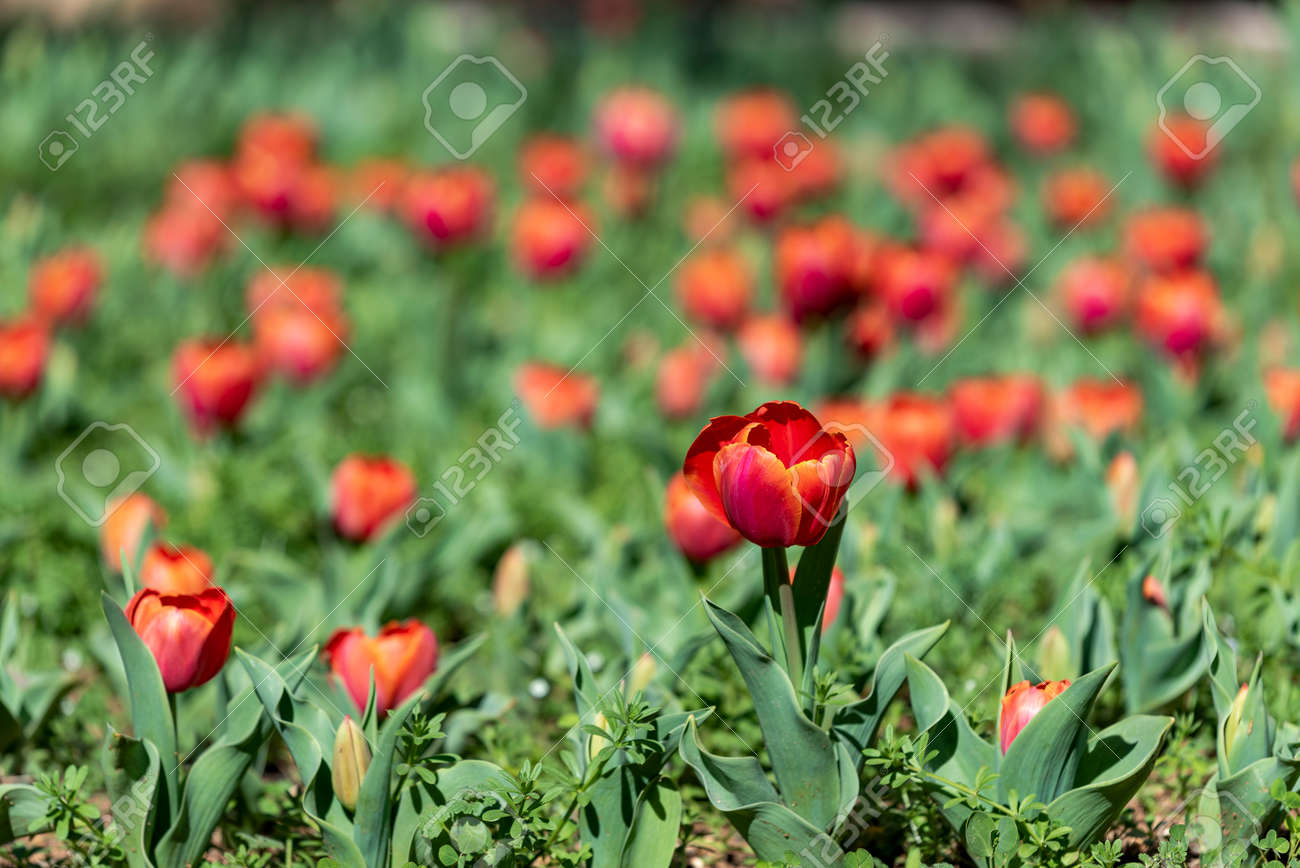 Glade of tulips flowers with open buds. Exhibition of flowers in the spring. Romantic background. Red glade of tulip in summer meadow for a romantic design. - 163841232