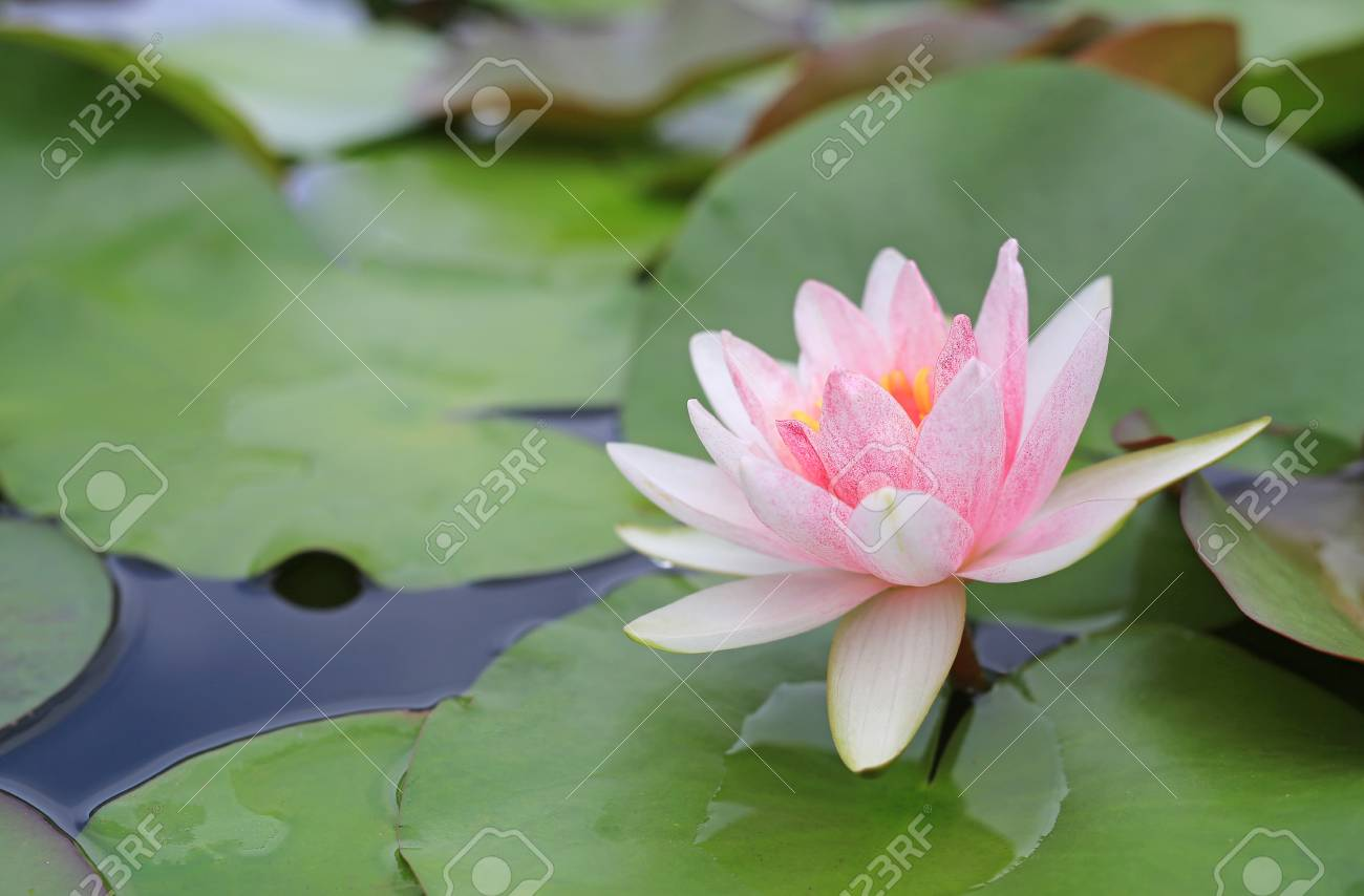 Beautiful Pink Lotus Flower In Pond Close Up Water Lily And Stock