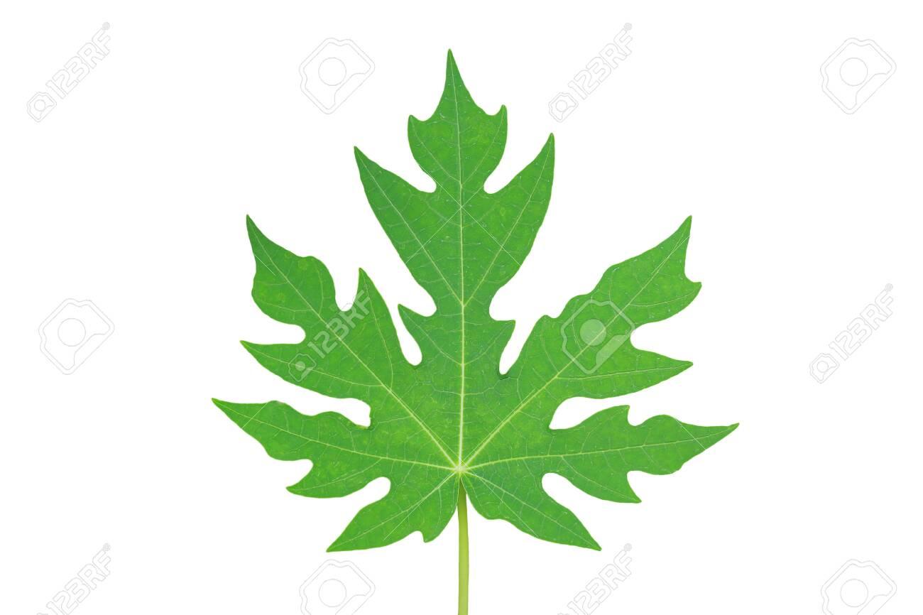 Papaya leaf isolated on white background. - 128156887