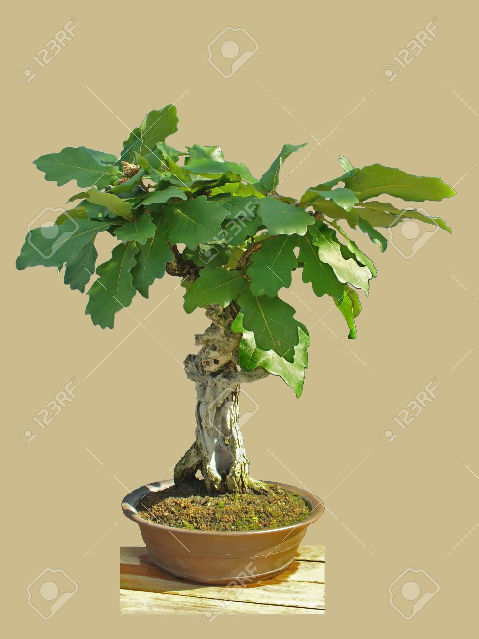 Oak Bonsai Stock Photo Picture And Royalty Free Image Image 3623715