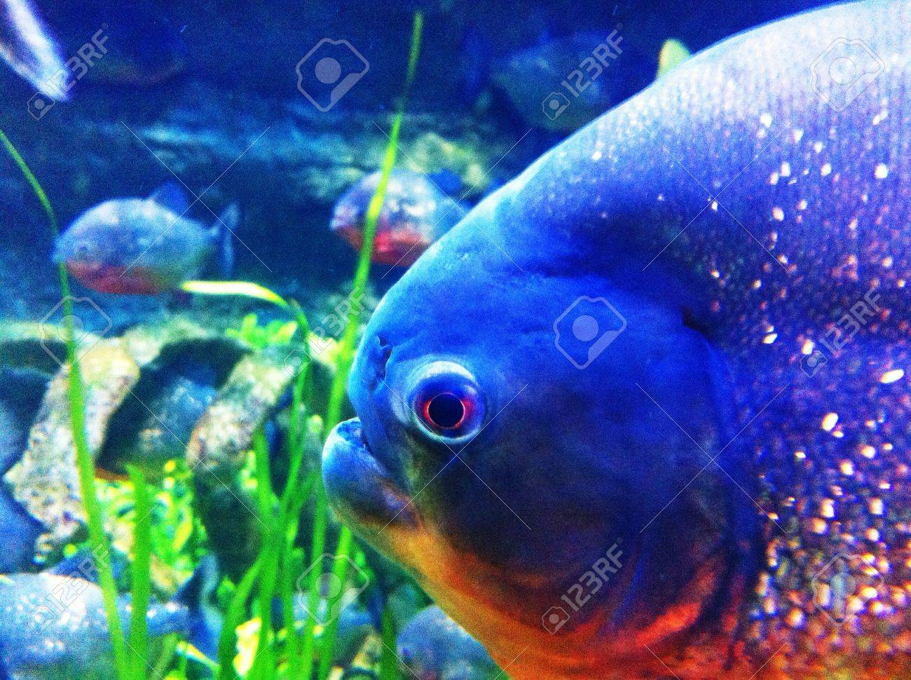 Freshwater Aquarium Fish In Dubai - Fish aquarium in dubai mall piranha in fish tank at dubai mall stock photo 26418139