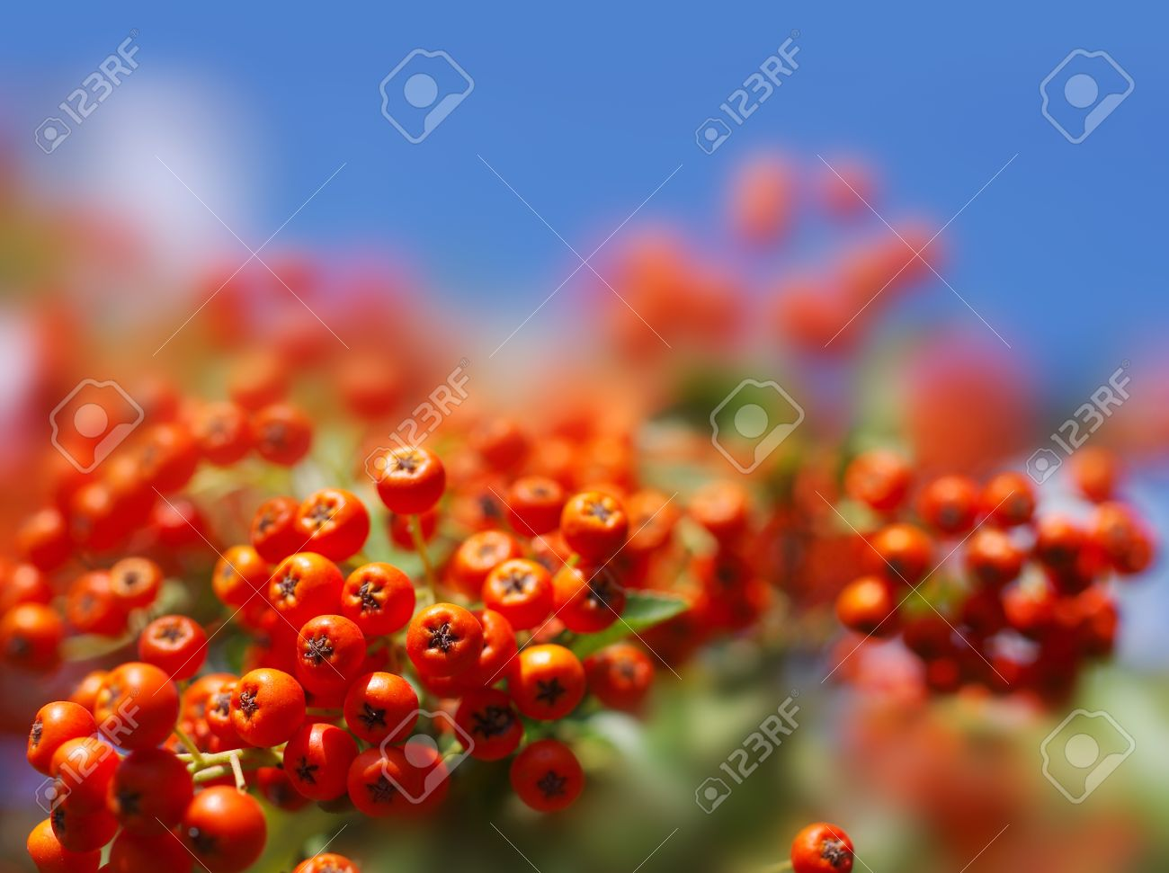 autumn berries on a background of blue sky Stock Photo - 15678650