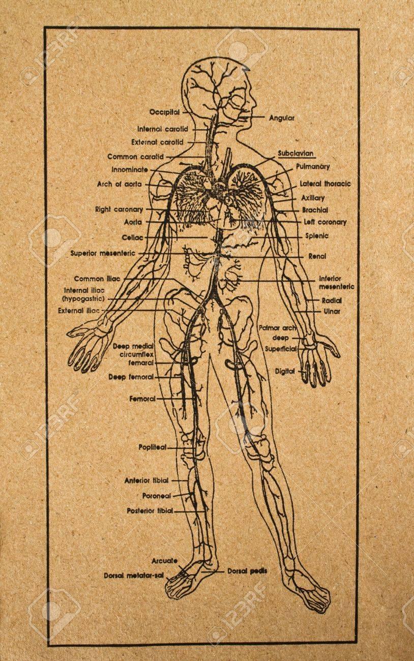 Menschlichen Körper Zeigt System Der Inneren Organe, Medizinische ...