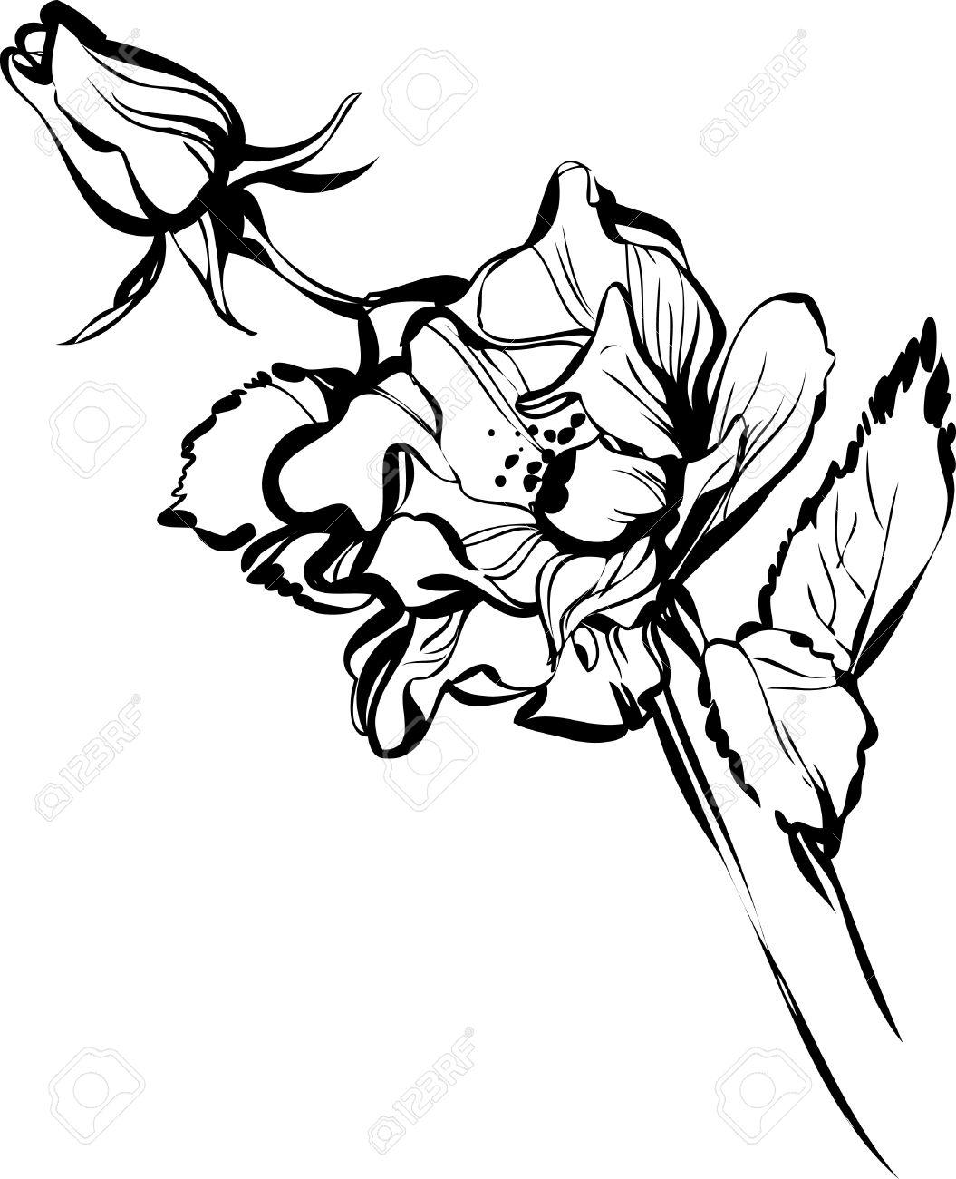 Banque dimages , dessin noir et blanc dun bourgeon de la fleur dune belle
