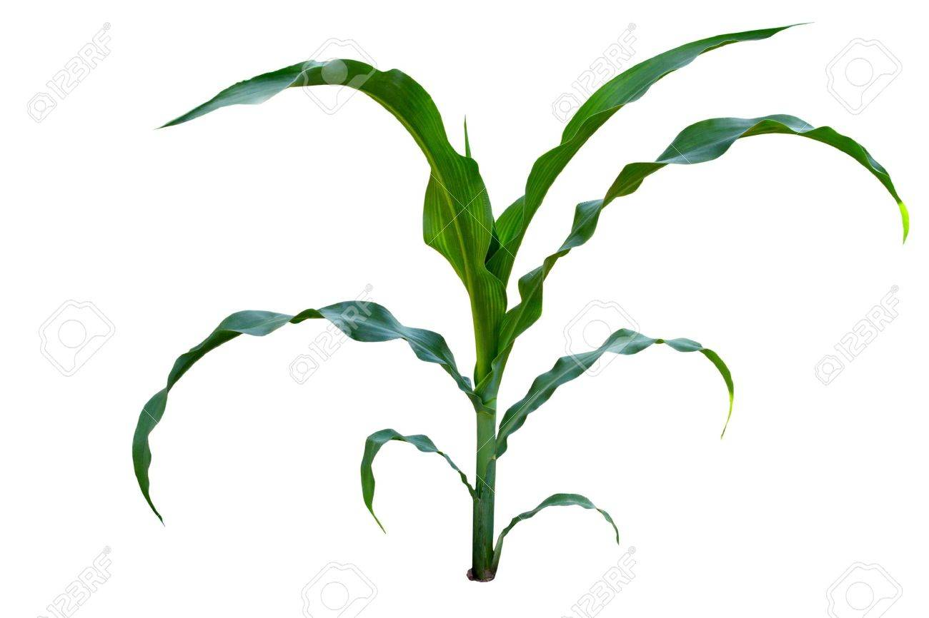 A Isolated Image Of A Young Corn Stalks Stock Photo Picture And Royalty Free Image Image 21800299 Tend to travel in large groups together for fear of embarassesment of the way they look. a isolated image of a young corn stalks