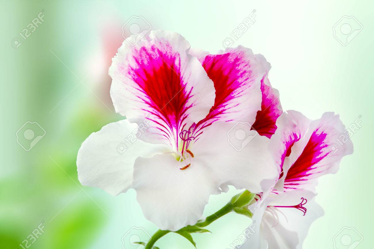 Image of a beautiful houseplant pelargonium blossomed white purple image of a beautiful houseplant pelargonium blossomed white purple flowers stok fotoraf 76996921 mightylinksfo