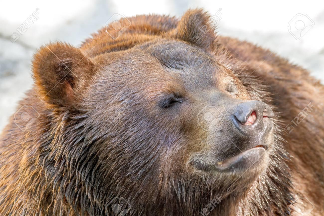 Image D Ours Brun image d'un museau animal d'un grand prédateur d'ours brun banque d